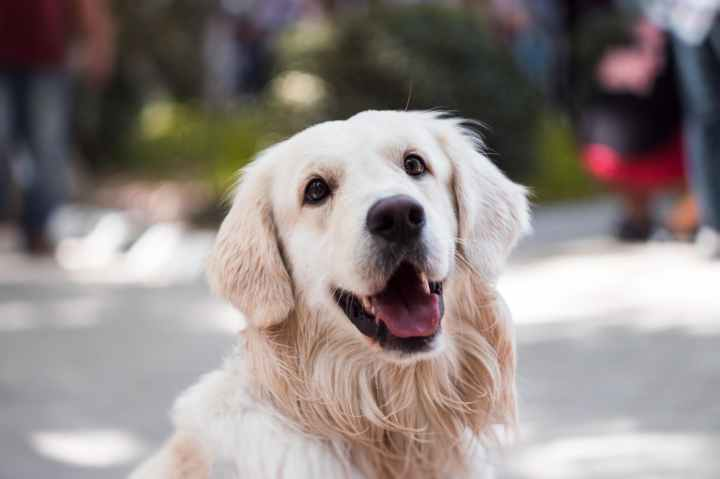 adult golden retriever close up photography